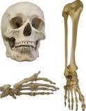 Satz menschliche Knochen auf Weiß Stockfoto