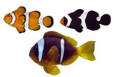Satz Nemo-Fische auf weißem Hintergrund Stockbilder