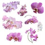 Satz Phalaenopsisorchideenblumen lokalisiert auf weißem Hintergrund lizenzfreies stockbild