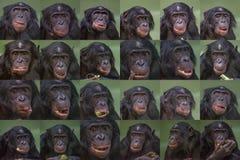 Satz Porträts des lustigen und lächelnden Bonobo, Abschluss oben Lizenzfreies Stockfoto