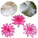 Satz rosa Lotos lokalisiert auf weißem Hintergrund stockfotografie