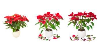 Satz rote Poinsettia lokalisierte Bilder Lizenzfreies Stockfoto