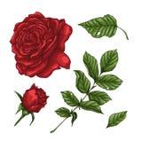 Satz Rotrosenblume, -knospe und -blätter Lokalisiert auf weißer Vektor-Illustration vektor abbildung