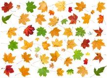 Satz verschiedene Blätter von den Ahornbäumen lokalisiert Stockbild