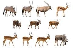 Satz von 11 Antilopen lokalisiert auf weißem Hintergrund Stockfotografie