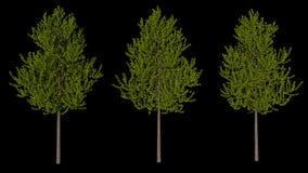 Satz von drei Bäumen mit schwarzem Hintergrund, lokalisiertes 3D übertragen Stockbild