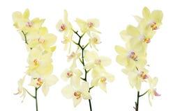 Satz von drei gelbe Orchidee lokalisierten Niederlassungen Stockfotografie