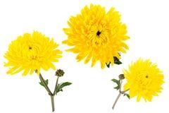 Satz von drei hellen gelben Chrysanthemen lokalisiert auf weißem bach Stockfotos