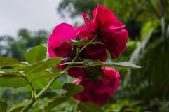 Satz von drei Rosen in der roten Farbe Stockfotos