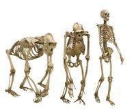 Satz von drei Skeletten lokalisiert auf Weiß Lizenzfreie Stockfotografie