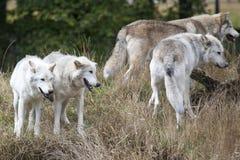 Satz von Grey Wolves Lizenzfreies Stockfoto