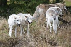 Satz von Grey Wolves Stockfotografie