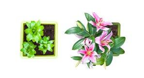 Satz von 2 lokalisierte weiße purpurrote Lilienblumen Stockbilder
