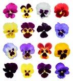 Satz von 16 Stiefmütterchenblumen Stockfoto