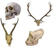 Satz von vier Schädeln lokalisiert auf Weiß Stockfotos