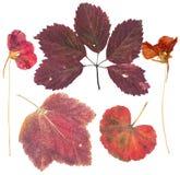 Satz von wildem trocknen gepresste Blumen und Blätter Lizenzfreie Stockfotografie