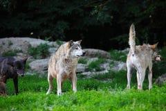 Satz Wölfe, die auf Karkasse in natürlichem speisen Lizenzfreie Stockbilder