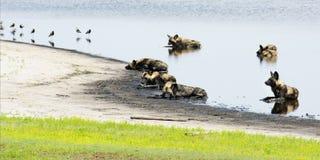 Satz wilde Hunde in einem flachen Teich Stockbild