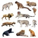Satz Wildkatzen Stockfotos