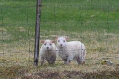 Sauðkindin islandés de Ãslenska de las ovejas foto de archivo