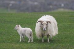 Sauðkindin islandés de Ãslenska de las ovejas fotos de archivo