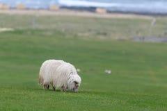 Sauðkindin islandés de Ãslenska de las ovejas foto de archivo libre de regalías