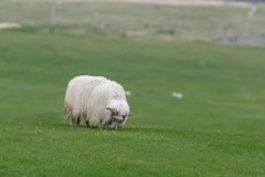 Sauðkindin islandés de Ãslenska de las ovejas imágenes de archivo libres de regalías