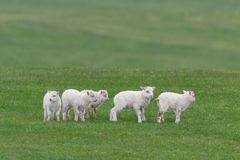 Sauðkindin islandés de Ãslenska de las ovejas fotografía de archivo