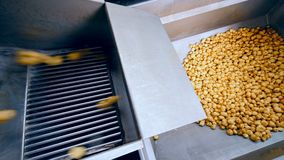 Saubere Kartoffeln, die in einen Kanister von einem Förderer an einer Fabrik fallen stock video