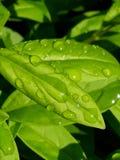Saubere Tautropfen auf frischen grünen Blättern stockfotografie