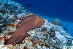 Sauberere Fische iinside Schlägerfische in Malediven Stockfotos