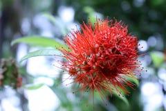 Sauce de Bush del erythrophyllum de Combretum fotos de archivo libres de regalías