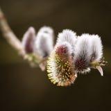 Sauce de gatito - primavera - Salix imágenes de archivo libres de regalías