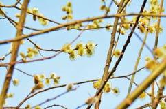 Sauce de la primavera Imagen de archivo