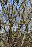 Sauce de la primavera Foto de archivo