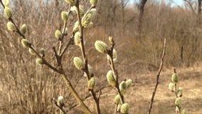 Sauce de la primavera con las ramas de color verde amarillo en el viento metrajes