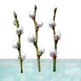 Sauce de la primavera en fondo azul Fotos de archivo libres de regalías
