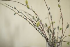 Sauce en florero en primavera Imágenes de archivo libres de regalías
