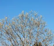 Sauce en primavera contra el cielo Imágenes de archivo libres de regalías