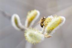 Sauce floreciente, abeja fotos de archivo