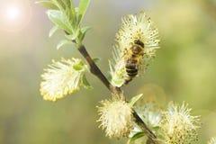 Sauce floreciente con la abeja Fotografía de archivo