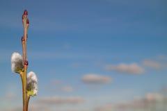 Sauce floreciente en fondo del cielo Imágenes de archivo libres de regalías