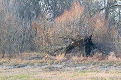Sauce quemado viejo en invierno Fotografía de archivo libre de regalías