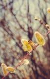 Sauce y abeja florecientes Primavera en el salvaje Fotos de archivo