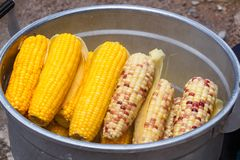 Saucepan with corn cobs royalty free stock image