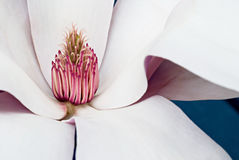 Saucer Magnolia. Macro of Saucer Magnolia or Chinese Magnolia (soulangiana) bloom showing the graceful lines of the petals and center pistils and stamens Royalty Free Stock Photography