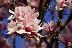 Saucer Magnolia blossom Royalty Free Stock Images