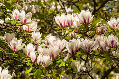 Saucer Magnolia flower Royalty Free Stock Images