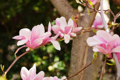 Saucer magnolia Royalty Free Stock Images
