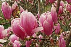 Saucer magnolia Stock Photography